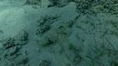 toxicant : Crocodilefish or Tentacled Flathead (Papilloculiceps longiceps) lies among the seagrass (Underwater shot, 4K  60fps)
