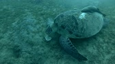 black sea turtle : Green sea turtle eats sea grass on the bottom (Chelonia mydas) Close-up, Underwater shot, 4K  60fps
