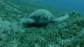 yalan : Green sea turtle asleep lying on the sea grass (Chelonia mydas) Front shots, Close-up, Underwater shot, 4K  60fps Stok Video