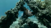 wreck dive : Red Lionfish Pterois volitans resting on the wreck upside down (Underwater shot, 4K  60fps) Stock Footage