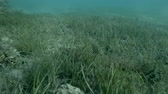 madagaskar : Crocodilefish or Tentacled Flathead (Papilloculiceps longiceps) swim over seagrass (Underwater shot, 4K  60fps)