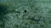 madagaskar : Crocodilefish or Tentacled Flathead (Papilloculiceps longiceps) hiding among the seagrass (Underwater shot, 4K  60fps)