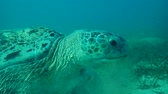 chelonia : portrait of a sea turtle (Chelonia mydas) that chews seagrass on a sandy bottom