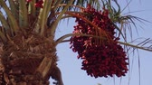 cachos : Ripe red fruits dates swaying to the wind on date palm on the blue sky background