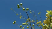 calças : branches Lime tree with fruits swaying to the wind on the blue sky background