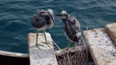 heron : Two fledgling herons stand next to nest on a wooden pier against the backdrop of the sea. Arabian Reef-egret or Western Reef Heron (Egretta gularis schistacea) Stock Footage