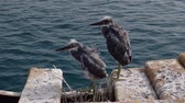 garça : Two fledgling herons stand next to nest on a wooden pier against the backdrop of the sea. Arabian Reef-egret or Western Reef Heron (Egretta gularis schistacea) Vídeos
