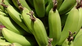 tropical climate : Closeup, Stalk of bananas (Musa) swaying to the wind on palm tree