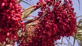 ceilão : Ripe red fruits dates swaying to the wind on date palm on the blue sky background