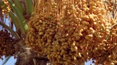 cachos : Ripe yellow fruits dates swaying to the wind on date palm on the blue sky background