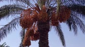 tropical climate : Ripe red fruits dates swaying to the wind on date palm on the blue sky background