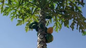 тропические фрукты : fruits Papaya, Papaw or Pawpaw (Carica papaya) growing on a tree on a blue sky background Стоковые видеозаписи