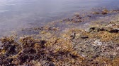 řasa : Liloral zone at low tide. Brown alga in the surf zone