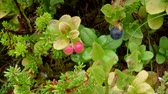 boreal : Lingonberry or Cowberry (Vaccinium Vitis-idaea) ??? European blueberry (), Averoy, Norway
