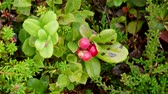 boreal : Lingonberry or Cowberry (Vaccinium Vitis-idaea), Averoy, Norway