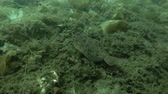 north star : Lemon sole (Microstomus kitt) swim over seabed overgrown with brown algae Sea Lace (Chorda filum), Laminaria and ascidian colony Transparent sea squirt (Ciona intestinalis, Ascidia intestinalis) Stock Footage