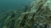 ouriço : underwater landscape, granite rock overgrown with laminaria and other brown algae