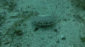rybolov : Queen scallop or Manx queenie (Aequipecten opercularis) on sandy bottom