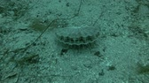 vieira : Queen scallop or Manx queenie (Aequipecten opercularis) on sandy bottom