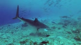 捕食性の : Tiger shark swims Underwater shot, Tiger Shark (Galeocerdo cuvier), Indian Ocean, Maldives