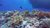 baars : Lyretail Anthias (Pseudanthias squamipinnis), Rode Zee, Egypte Stockvideo