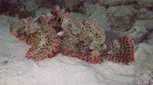 merluzzo : Bearded Scorpionfish - Red Sea, Marsa Alam, Egypt