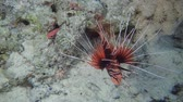 toxicant : Firefish swim over seabed. Radial Firefish or Clearfin Turkeyfish - Pterois radiata, Red Sea, Marsa Alam, Egypt