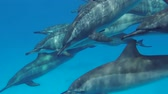 havaiano : Pod of Dolphins swim in the blue water. Spinner Dolphins - Stenella longirostris, Red Sea, Marsa Alam, Egypt