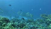 group of animal : School of yellow Goatfish swim over coral reef. Yellowfin Goatfish - Mulloidichthys vanicolensis, Red Sea, Marsa Alam, Egypt Stock Footage
