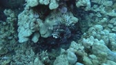 toxicant : Lionfish swaying in the current near coral reef. Red Lionfish - Pterois volitans, Red Sea, Marsa Alam, Egypt Stock Footage