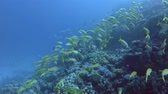 barbatana : School of yellow Goatfish swim over coral reef. Yellowfin Goatfish - Mulloidichthys vanicolensis, Red Sea, Marsa Alam, Egypt Stock Footage
