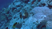 bigode : Titan Triggerfish - Balistoides viridescens feeding on a coral reef, Red Sea, Marsa Alam, Egypt Stock Footage