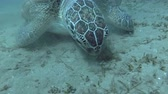 black sea turtle : Green Sea turtles - Red Sea, Red Sea, Marsa Alam, Abu Dabab, Egypt Stock Footage