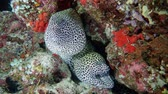 girafa : Two Honeycomb Moray - Gymnothorax favagineus looking out of the hole, Indian Ocean, Maldives