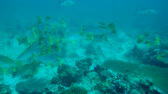 plectorhinchus : school of Oriental Sweetlips - Plectorhinchus vittatus swims over reef, Indian Ocean, Maldives Stock Footage