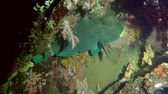 papuga : Green Humphead Parrotfish - Bolbometopon muricatum clung to the reef at night, Bali, Indonesia