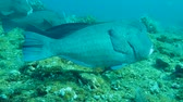 papuga : school of Green Humphead Parrotfish - Bolbometopon muricatum swim over coral reef, Bali, Indonesia