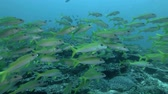 indo pacific : Large school of yellow Goatfish swim slowly in the blue water over corals bottom. Yellowfin Goatfish - Mulloidichthys vanicolensis, Bali, Oceania, Indonesia