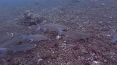 wart : School of Mullet feeds on a rocky bottom. Fringelip Mullet - Crenimugil crenilabis, Bali, Oceania, Indonesia Stock Footage
