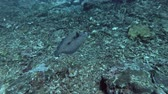 среда обитания : Flounder fish slowly swim over corals bottom. Leopard Flounder - Bothus pantherinus, Bali, Oceania, Indonesia Стоковые видеозаписи