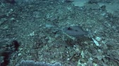 leopardo : Flounder fish slowly swim over corals bottom. Leopard Flounder - Bothus pantherinus, Bali, Oceania, Indonesia Stock Footage