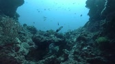 cucurucho : Swim over coral reef in the blue water. Chinese Trumpetfish - Aulostomus chinensis, Bali, Oceania, Indonesia Archivo de Video