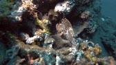 indo pacific : Leaf Scorpionfish sit on the coral reef. Leaf Scorpionfish - Taenianotus triacanthus, Bali, Oceania, Indonesia Stock Footage