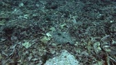 lampart : Flounder fish slowly swim over corals bottom. Leopard Flounder - Bothus pantherinus, Bali, Oceania, Indonesia Wideo