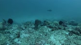 sepia : Cuttlefish changing color and slowly swims near coral reef. Broadclub Cuttlefish - Sepia latimanus, Bali, Oceania, Indonesia Stock Footage