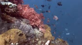 soft coral : Coral reef, Bali, Oceania, Indonesia Stock Footage