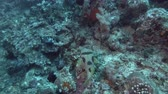 balloons : Black-blotched Porcupinefish - Diodon liturosus over corals bottom. Top view, Bali, Oceania, Indonesia