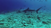 подводный : Tiger Shark swims Tiger Shark, Galeocerdo cuvier, Indian Ocean, Fuvahmulah Atoll, Tiger Zoo, Maldives