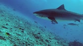 тигр : Close-up Tiger Shark, Galeocerdo cuvier, Indian Ocean, Fuvahmulah Atoll, Tiger Zoo, Maldives