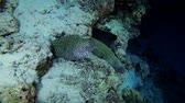 giraf : Differents Moray Eels op het koraalrif in de negentiende eeuw. Three Honeycomb Moray (Gymnothorax favagineus) en Giant moray (Gymnothorax javanicus). Indische Oceaan, de Maldiven